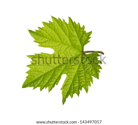 leaf from the vine on a white background