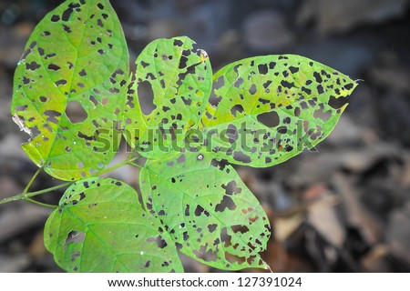 leaf holes from pest eating - stock photo