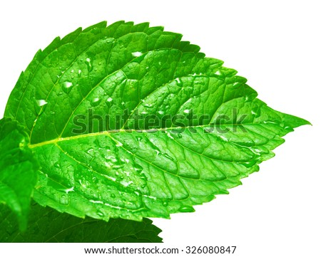 Leaf hydrangea with drops isolated on white background