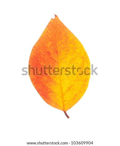 leaf isolated on white - stock photo