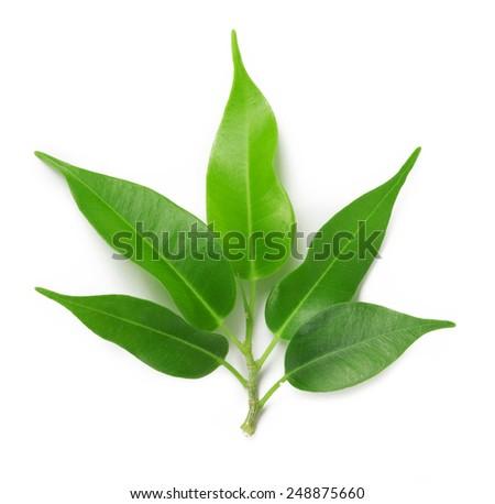 leaf isolated on white background - stock photo