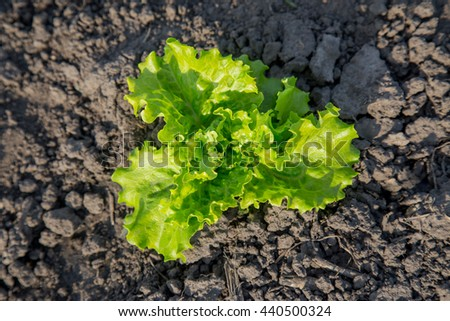 Leaf lettuce organic salad grows in the soil. Top view. Authentic farm series. - stock photo