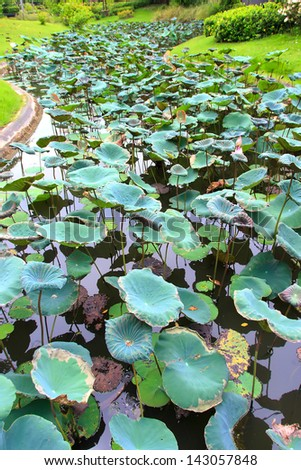 Leaf lotus on swamp of garden it have green colourful - stock photo