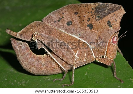Leaf Mimicking Grasshopper (Chorotypus gallinaceus) mimics a dead leaf in the rain forests of the Danum Valley of Malaysian Borneo. Cryptic colour is perfect camouflage.
