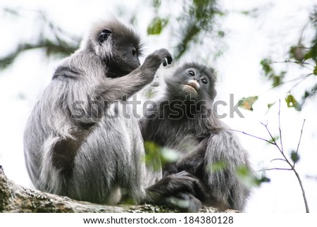 leaf monkey in Thailand - stock photo