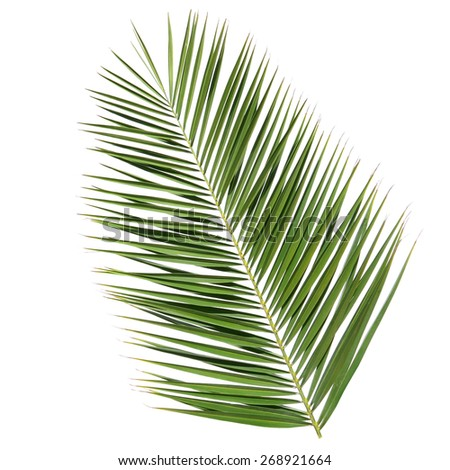 Leaf of a date palm tree isolated on the white background - stock photo