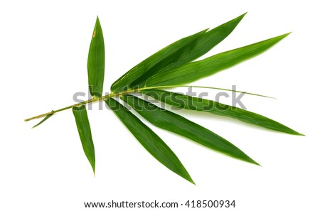 Leaf of Bamboo isolated on white background - stock photo