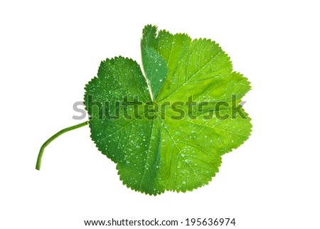 Leaf of Lady's Mantle with brilliant water drops isolated on white  - stock photo
