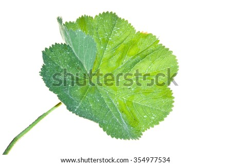 Leaf of Lady's Mantle with brilliant water drops isolated on white background