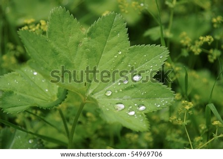 Leaf of lady's mantle with early dew drops