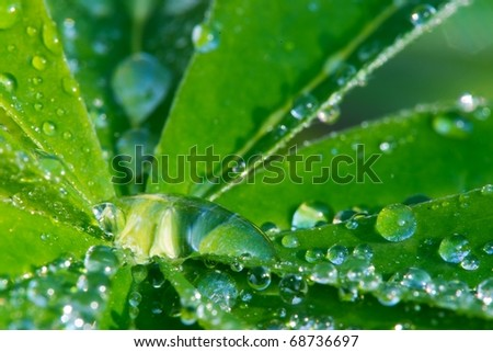 leaf of lupinus with drops of water