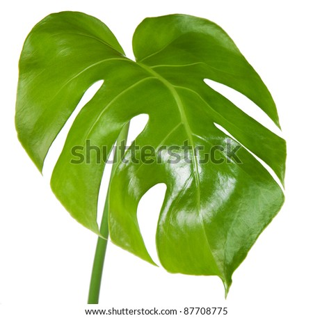 Leaf of monstera isolated on white background - stock photo