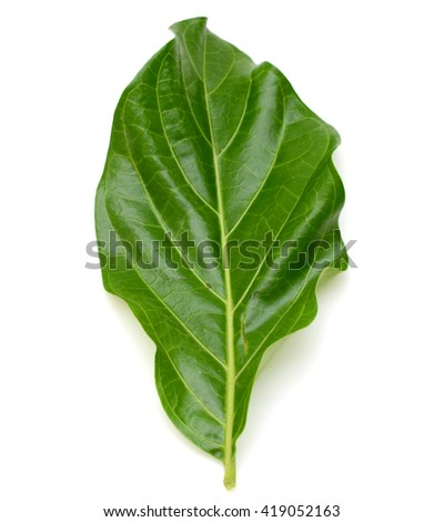 leaf of Noni isolated on white background