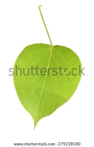 Leaf of Pear on white background