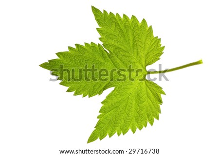 leaf of raspberry isolated on white