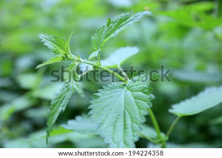 Leaf of stinging nettle - stock photo