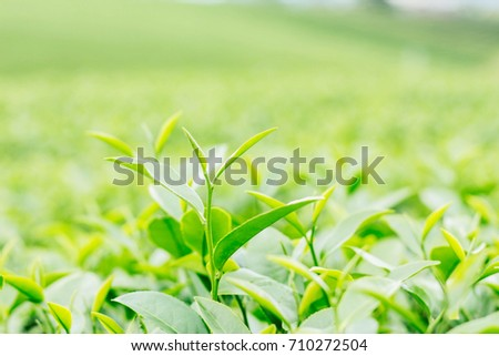 Leaf of tea with a green background.