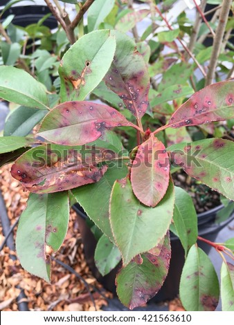 Leaf spot disease on a red tip photinia.