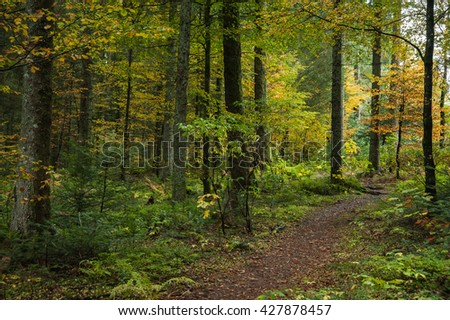 Leaf strewn walking path through mixed forest in autumn with yellow and green leaved trees
