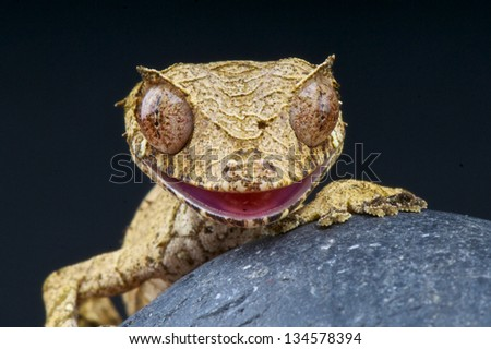 Leaf-Tailed gecko / Uroplatus phantasticus - stock photo