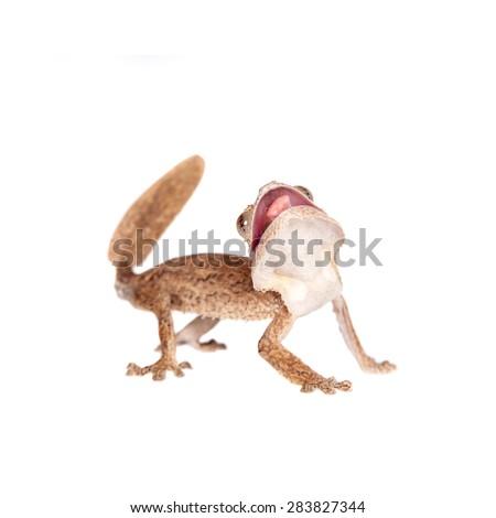 Leaf-toed gecko, unknow uroplatus, on white - stock photo