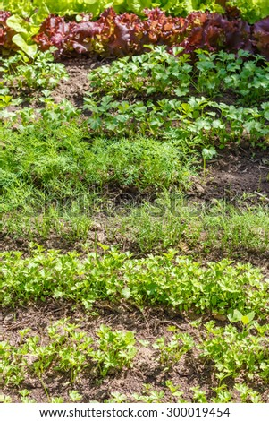 Leaf vegetable. Cilantro, parsley, dill and  lettuce in seedbed. Vegetable garden. Household plot. Dacha. - stock photo