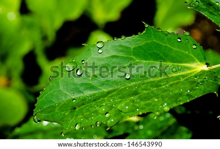 Leaf with Freshly Fallen Water Drops After the Rain
