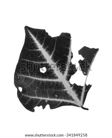 Leaf with holes, eaten by pests isolated on white background black white - stock photo