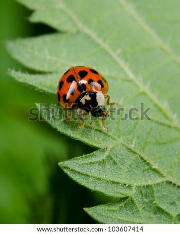 leaf with Japanese Ladybug - stock photo