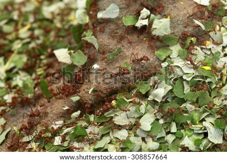 Leafcutter ants (Atta sexdens). Wild life animal.  - stock photo