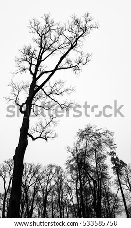 Leafless bare trees over white sky. Vertical monochrome background photo