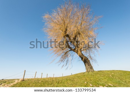 Leafless weeping willow on a dike and against a blue sky. - stock photo