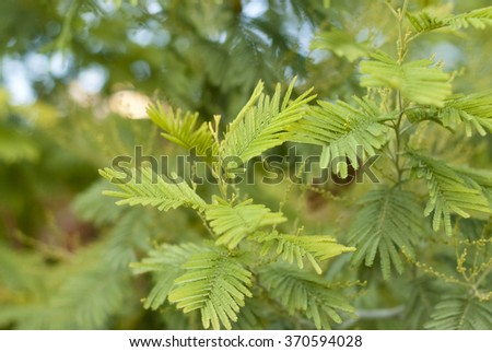 leafs of the mimosa tree