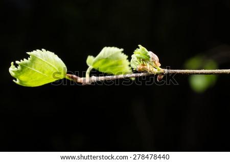 leafs unfold - stock photo