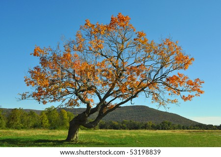 Leaning tree with orange leaves in fall