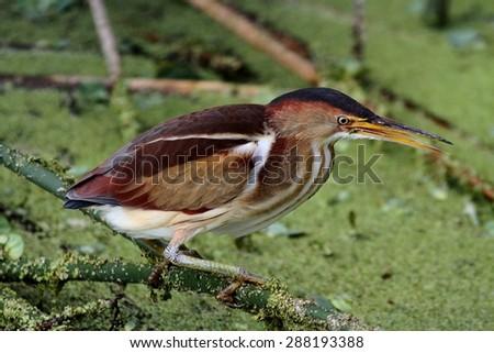 Least Bittern (Ixobrychus exilis) in the Florida Everglades - stock photo