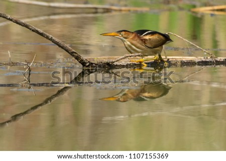 Least Bittern standing on a thin log, waiting for a fish to swim by to make a meal. Colonel Samuel Smith Park, Toronto, Ontario, Canada.