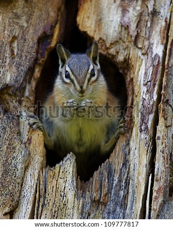 Least Chipmunk dramatically posed in the entrance to her hole; Chopaka Lake, Washington, near the Canadian border; Pacific Northwest wildlife / nature