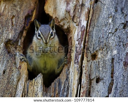 Least Chipmunk dramatically positioned in the entrance to her hole; Chopaka Lake, Washington, near the Canadian border; Pacific Northwest wildlife / nature - stock photo