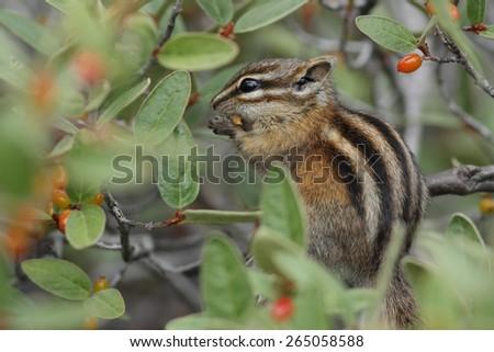 Least Chipmunk (Tamias minimus) eating a berry - Jasper National Park, Canada - stock photo