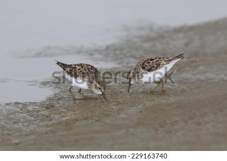 Least Sandpipers (Calidris minutilla) Foraging on a Mudflat - Texas - stock photo