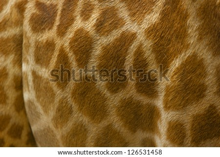 leather skin of giraffe - stock photo