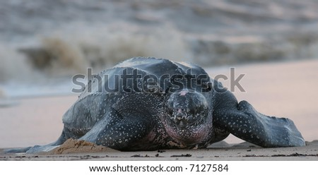leatherback sea turtle crawling up the beach to complete the nesting process