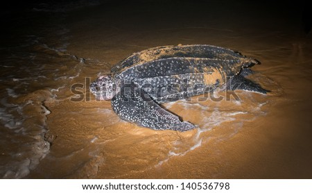 Leatherback Sea Turtle  (Dermochelys coriacea)  laying eggs after returning to the ocean - stock photo
