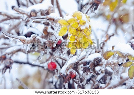 Leaves and berries of a dogrose with icicles under a sleet