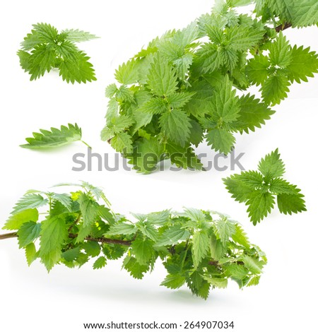 Leaves and branches of nettle isolated on a white background - stock photo