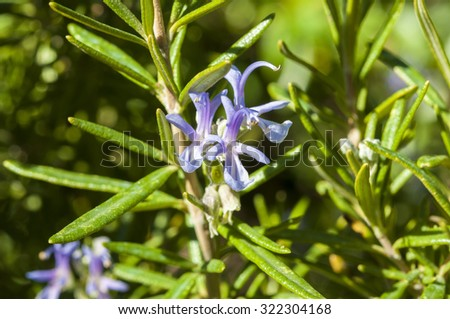 Leaves and flowers of Rosemary, Rosmarinus officinalis. It is a woody, perennial herb, native to the Mediterranean region  - stock photo