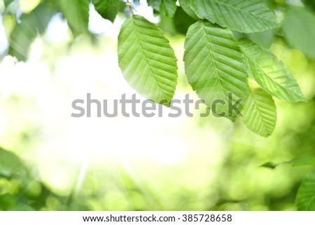 Leaves and sun in a forest. Spring time in a mixed forest. Beech leaves with selective focus and copy space. Nature frame or nature background. - stock photo