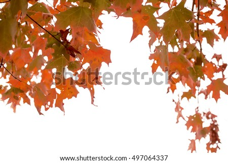 leaves and twigs of red maple isolated on white. branch of japanese red maple with colorful leaves in the wind. Indian summer. selective focus due to the concept