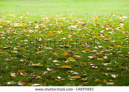 Leaves fall from a tree on green grass. - stock photo